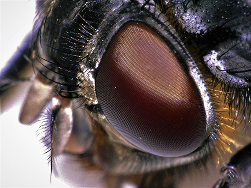 The Compound Eye of Calliphora Vomitoria (a bluebottle fly)