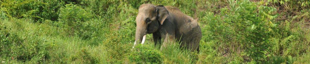 Sumatran Elephant by @AHKorstjens