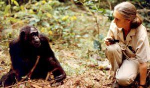 Jane Goodall with Fifi the Chimpanzee